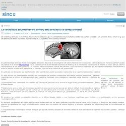 La variabilidad del precúneo del cerebro está asociada a la corteza cerebral / Noticias / SINC - Agencia SINC