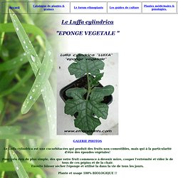 EPONGE VEGETALE graines LUFFA CYLINDRICA Guide de culture graines