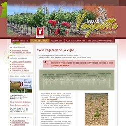 Cycle végétatif de la vigne, Débourrement, floraison, véraison, …