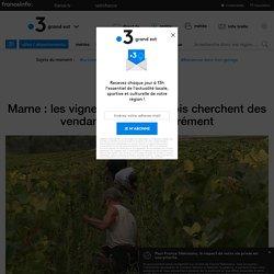 Marne : les vignerons champenois cherchent des vendangeurs désespérément - France 3 Grand Est