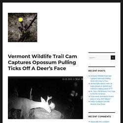 Vermont Wildlife Trail Cam Captures Opossum Pulling Ticks Off A Deer's Face