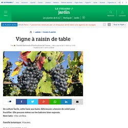 Vigne à raisin de table