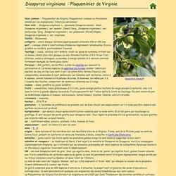 Diospyros virginiana - Plaqueminier de Virginie