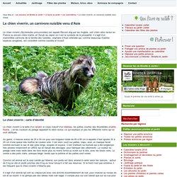 Le chien viverrin, un carnivore nuisible venu d'Asie