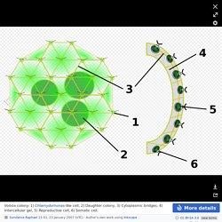 Volvox - Volvox - Wikipedia