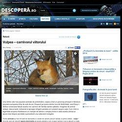 Vulpea – carnivorul viitorului