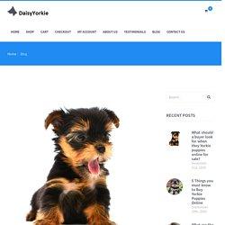 Buy 11 weeks Yorkie puppies in USA