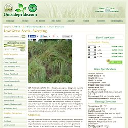 Love Grass Seeds - Weeping Lovegrass Ornamental Grass Seed