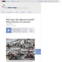 Why Were The Baboons So Sad? Many Theories, No Answers : The Two-Way