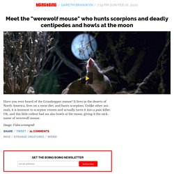 """Meet the """"werewolf mouse"""" who hunts scorpions and deadly centipedes and howls at the moon"""