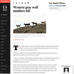 Western gray wolf numbers fall