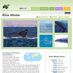 Blue Whale (Balsenoptera musculus)