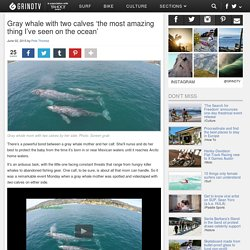 Gray whale with two calves 'the most amazing thing I've seen on the ocean'