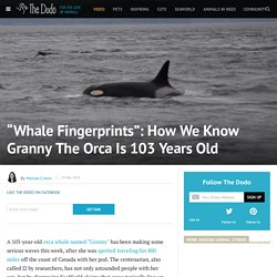 """Whale Fingerprints"": How We Know Granny The Orca Is 103 Years Old"