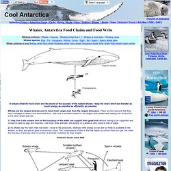 Whales and antarctica food webs and food chains