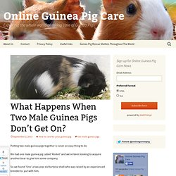 What Happens When Two Male Guinea Pigs Don't Get On?