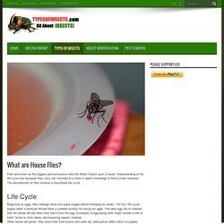 What are House Flies? - Types Of Insects