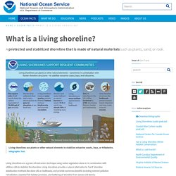 What is a living shoreline?
