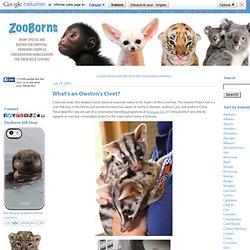 Civets Kittens