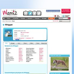 Whippet : chien et chiot. Lévrier nain