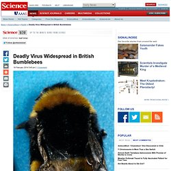Deadly Virus Widespread in British Bumblebees