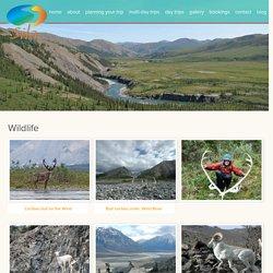 Wildlife Holidays in Yukon