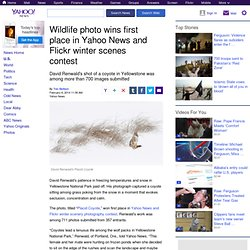 Wildlife photo wins first place in Yahoo News and Flickr winter scenes contest