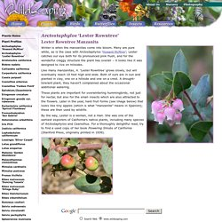 Wildscaping/Plants/Arctostaphylos 'Lester Rowntree'