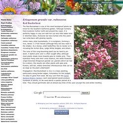 Wildscaping/Plants/Eriogonum grande rubescens