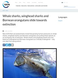 Whale sharks, winghead sharks and Bornean orangutans slide towards extinction