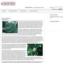 Winter Daphne - State-by-State Gardening