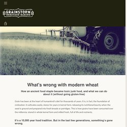 What's wrong with modern wheat – GRAINSTORM