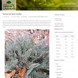 Yarrow For Your Garden At Online Garden Center