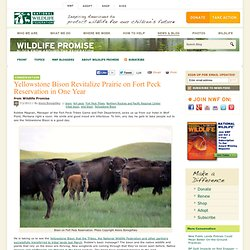 Yellowstone Bison Revitalize Prairie on Fort Peck Reservation in One Year