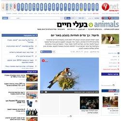 ynet תיעוד: כך צדים חוחיות בטבע באור יום - ירוק