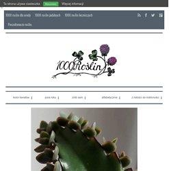 1000roślin / Żyworódka - jadalna roślinka z parapetu. - 1000roślin