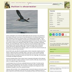 Hutton's shearwater, Puffinis huttoni