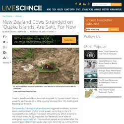 New Zealand Cows Stranded on 'Quake Islands' Are Safe, For Now