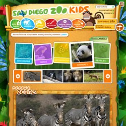 Zebra Facts For Kids: Zebra Pictures, Zebras Facts