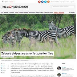 Zebra's stripes are a no fly zone for flies