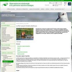 OBSERVATOIRE DE LA BIODIVERSITE EN BRETAGNE 05/05/08 Le Rat musqué (Ondatra zibethicus)