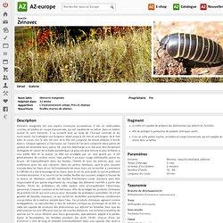 Zvinavec Insecte Glomeris marginata
