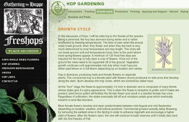 http://www.freshops.com/hop-growing/hop-gardening/#growth_cycle