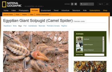 http://animals.nationalgeographic.com/animals/bugs/egyptian-giant-solpugid/