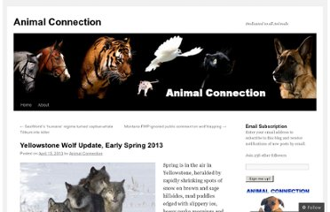 http://animalconnectionac.wordpress.com/2013/04/15/yellowstone-wolf-update-early-spring-2013/
